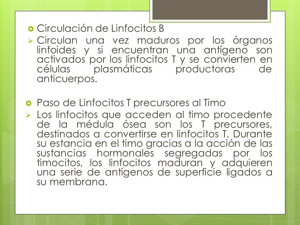 Circulación de Linfocitos B Circulan una vez maduros por los órganos linfoides y si encuentran una antígeno son activados por los linfocitos T y se co