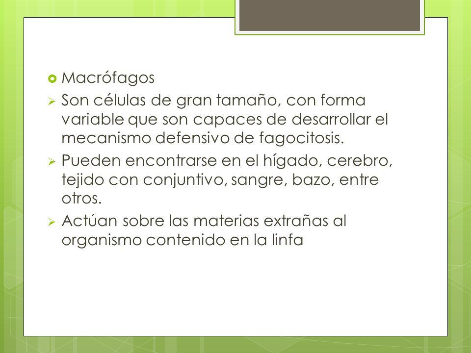 Macrófagos Son células de gran tamaño, con forma variable que son capaces de desarrollar el mecanismo defensivo de fagocitosis. Pueden encontrarse en