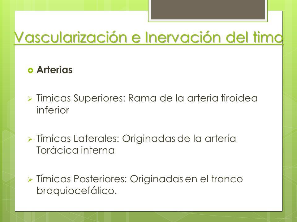 Vascularización e Inervación del timo Arterias Tímicas Superiores: Rama de la arteria tiroidea inferior Tímicas Laterales: Originadas de la arteria To