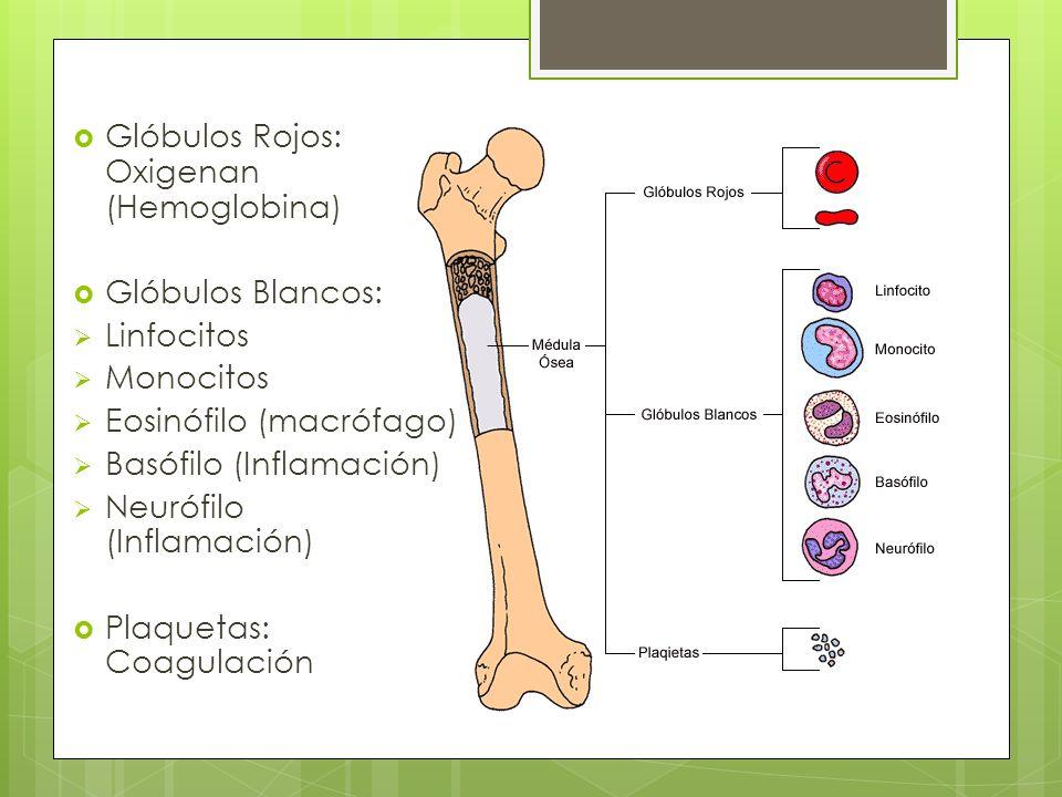 Glóbulos Rojos: Oxigenan (Hemoglobina) Glóbulos Blancos: Linfocitos Monocitos Eosinófilo (macrófago) Basófilo (Inflamación) Neurófilo (Inflamación) Pl