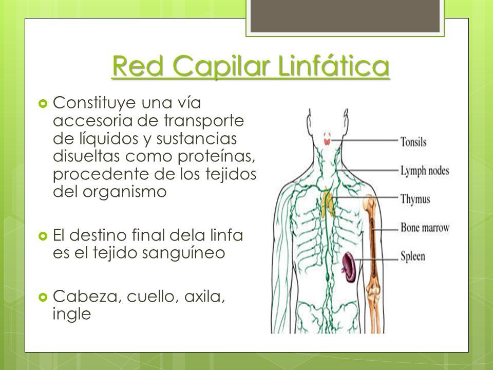 Red Capilar Linfática Constituye una vía accesoria de transporte de líquidos y sustancias disueltas como proteínas, procedente de los tejidos del orga