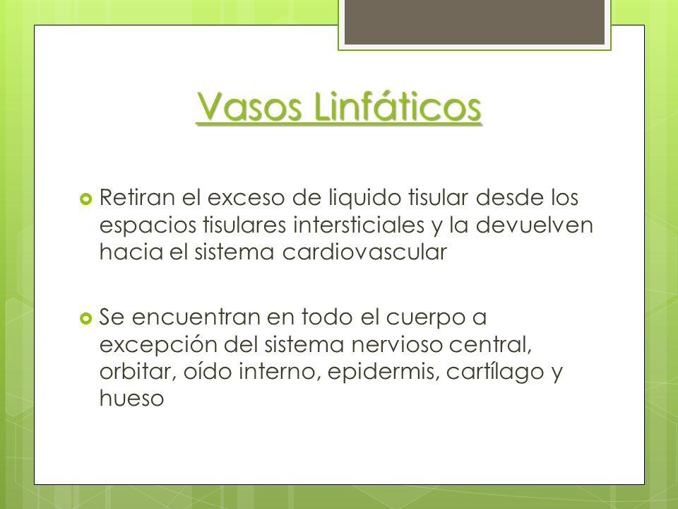 Vasos Linfáticos Retiran el exceso de liquido tisular desde los espacios tisulares intersticiales y la devuelven hacia el sistema cardiovascular Se en