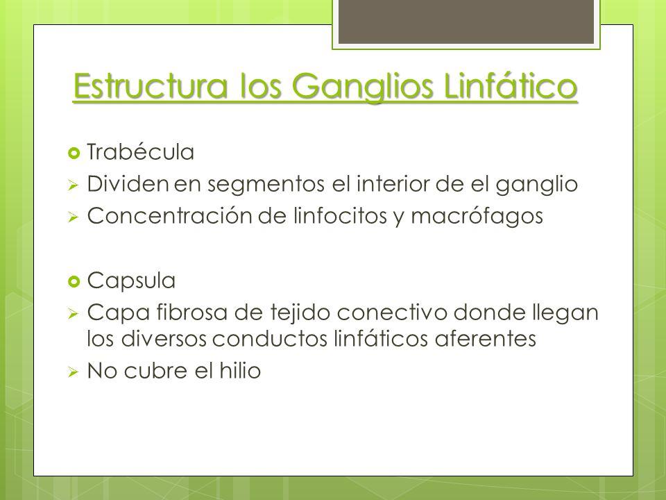 Estructura los Ganglios Linfático Trabécula Dividen en segmentos el interior de el ganglio Concentración de linfocitos y macrófagos Capsula Capa fibro