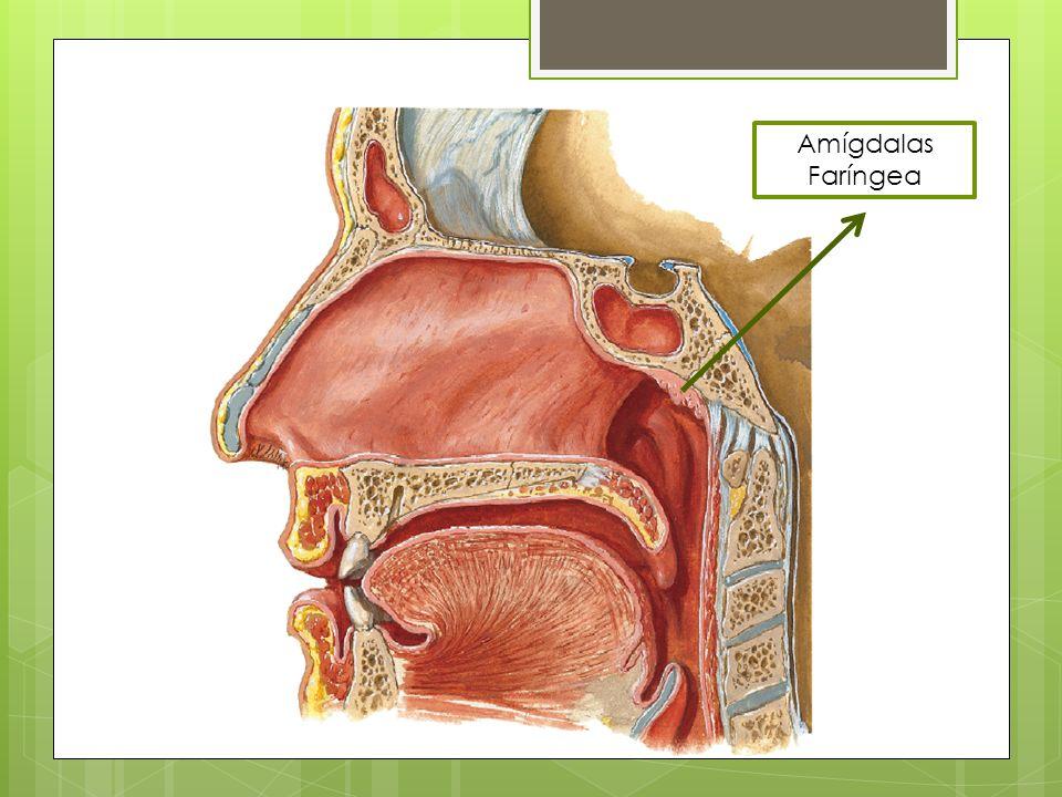 Amígdalas Faríngea