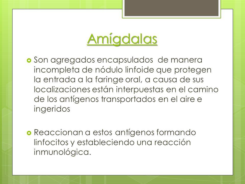 Amígdalas Son agregados encapsulados de manera incompleta de nódulo linfoide que protegen la entrada a la faringe oral, a causa de sus localizaciones