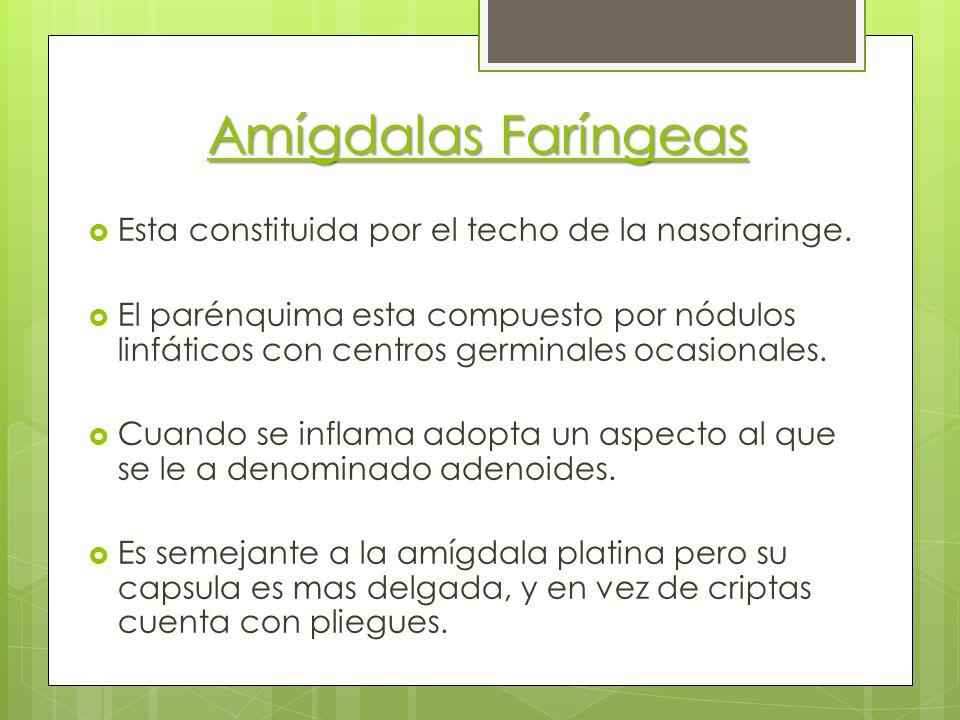 Amígdalas Faríngeas Esta constituida por el techo de la nasofaringe. El parénquima esta compuesto por nódulos linfáticos con centros germinales ocasio