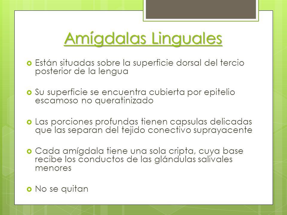 Amígdalas Linguales Están situadas sobre la superficie dorsal del tercio posterior de la lengua Su superficie se encuentra cubierta por epitelio escam