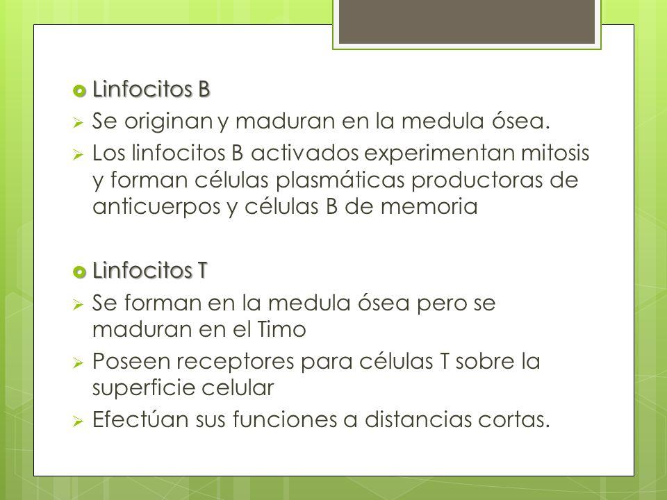 Linfocitos B Linfocitos B Se originan y maduran en la medula ósea. Los linfocitos B activados experimentan mitosis y forman células plasmáticas produc