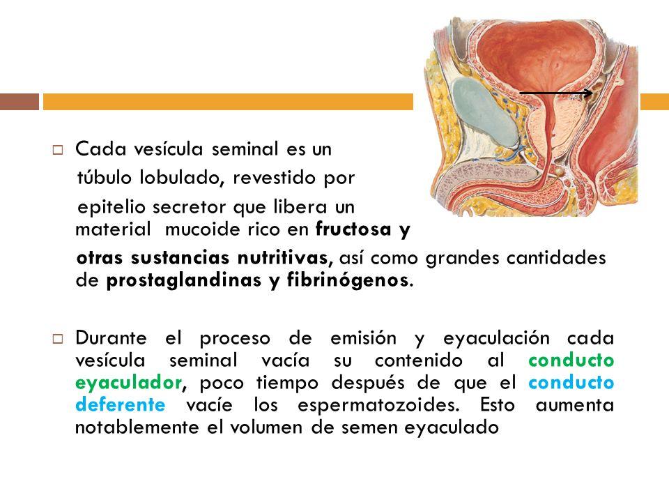 Cada vesícula seminal es un túbulo lobulado, revestido por epitelio secretor que libera un material mucoide rico en fructosa y otras sustancias nutritivas, así como grandes cantidades de prostaglandinas y fibrinógenos.