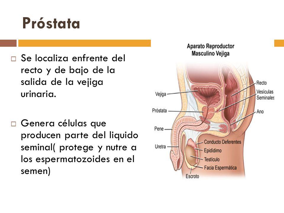Próstata Se localiza enfrente del recto y de bajo de la salida de la vejiga urinaria.