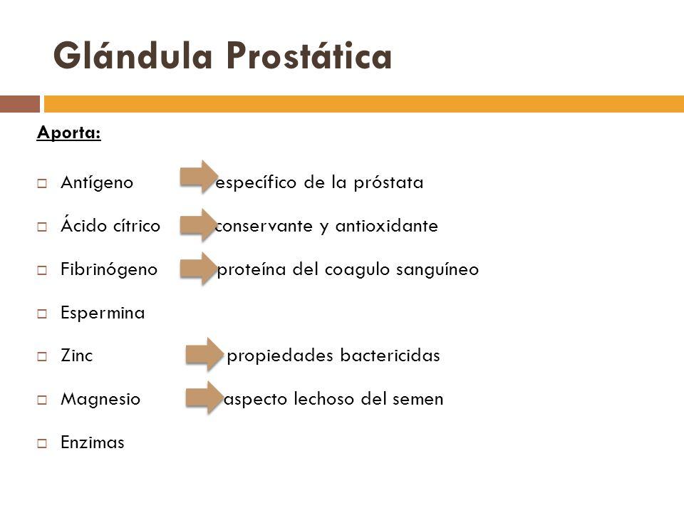Glándula Prostática Aporta: Antígeno específico de la próstata Ácido cítrico conservante y antioxidante Fibrinógeno proteína del coagulo sanguíneo Espermina Zinc propiedades bactericidas Magnesio aspecto lechoso del semen Enzimas