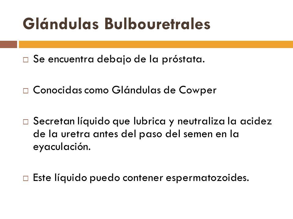Glándulas Bulbouretrales Se encuentra debajo de la próstata.