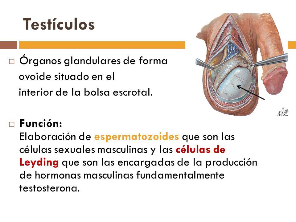 Testículos Órganos glandulares de forma ovoide situado en el interior de la bolsa escrotal.