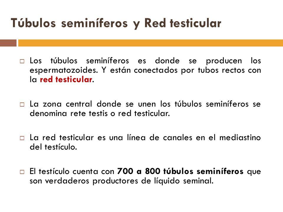 Túbulos seminíferos y Red testicular Los túbulos seminíferos es donde se producen los espermatozoides.
