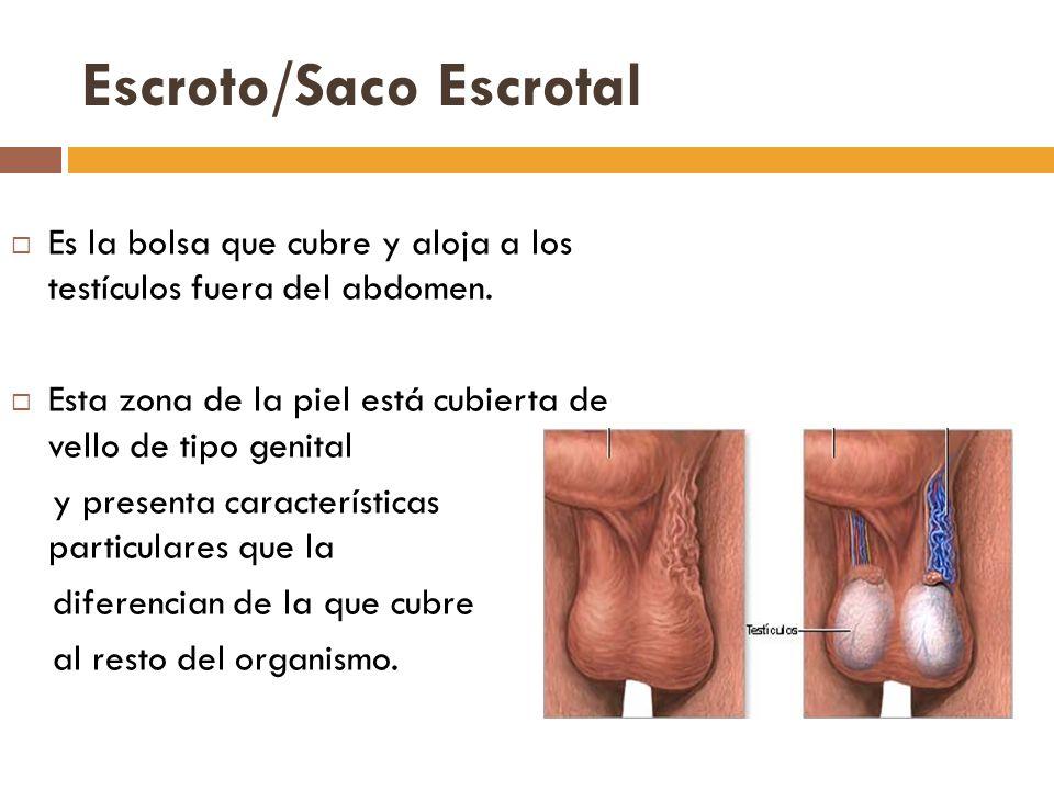 Escroto/Saco Escrotal Es la bolsa que cubre y aloja a los testículos fuera del abdomen.