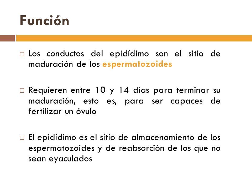 Función Los conductos del epidídimo son el sitio de maduración de los espermatozoides Requieren entre 10 y 14 días para terminar su maduración, esto es, para ser capaces de fertilizar un óvulo El epidídimo es el sitio de almacenamiento de los espermatozoides y de reabsorción de los que no sean eyaculados