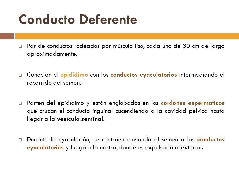 Conducto Deferente Par de conductos rodeados por músculo liso, cada uno de 30 cm de largo aproximadamente.