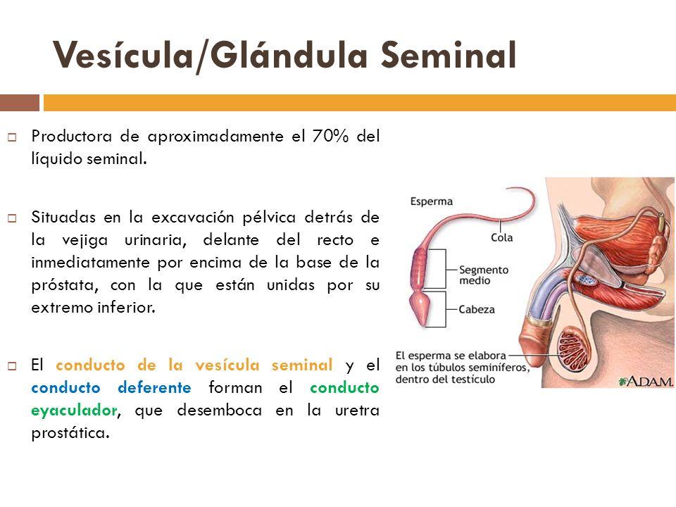 Vesícula/Glándula Seminal Productora de aproximadamente el 70% del líquido seminal.