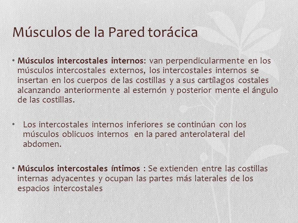 Músculos de la Pared torácica Músculos intercostales internos: van perpendicularmente en los músculos intercostales externos, los intercostales intern