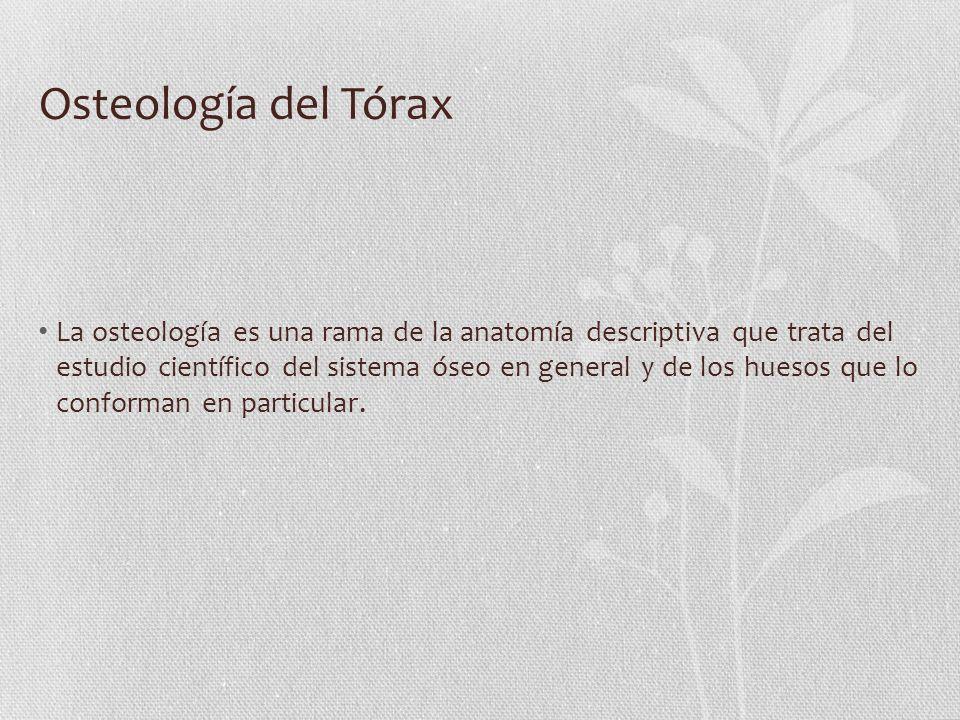 Osteología del Tórax La osteología es una rama de la anatomía descriptiva que trata del estudio científico del sistema óseo en general y de los huesos