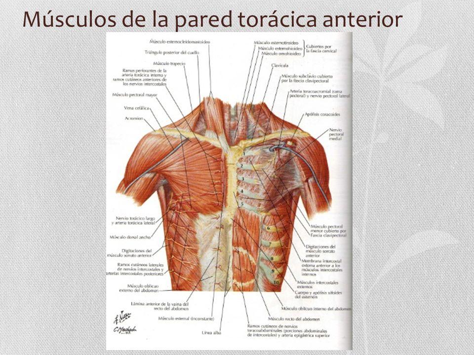Músculos de la pared torácica anterior