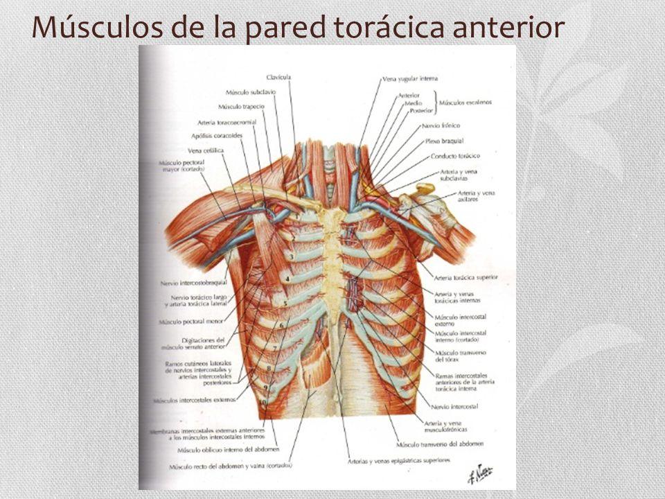 Glándula Mamaria Tejido Mamario: Las mamas se componen de tejido glandular y de tejido fibroso de soporte integrados en la matriz del tejido graso, junto con vasos sanguíneos y linfáticos y nervios Pezón y aureolas : El pezón esta en la prominencia más elevada de la mama rodeado por la aureola.