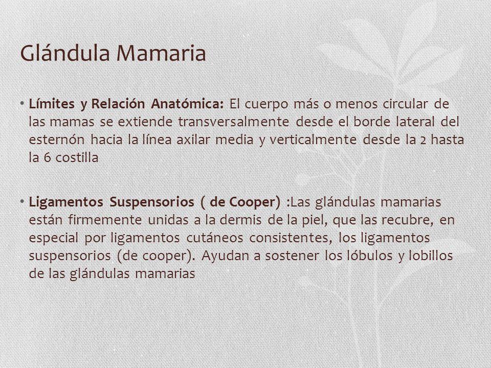 Glándula Mamaria Límites y Relación Anatómica: El cuerpo más o menos circular de las mamas se extiende transversalmente desde el borde lateral del est