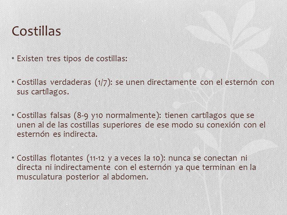 Costillas Existen tres tipos de costillas: Costillas verdaderas (1/7): se unen directamente con el esternón con sus cartílagos. Costillas falsas (8-9