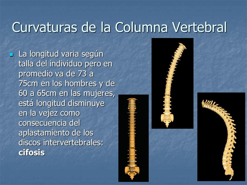 Curvaturas de la Columna Vertebral La longitud varia según talla del individuo pero en promedio va de 73 a 75cm en los hombres y de 60 a 65cm en las m
