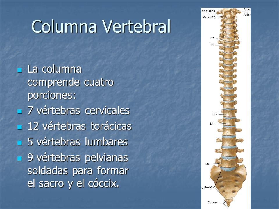 Columna Vertebral La columna comprende cuatro porciones: La columna comprende cuatro porciones: 7 vértebras cervicales 7 vértebras cervicales 12 vérte