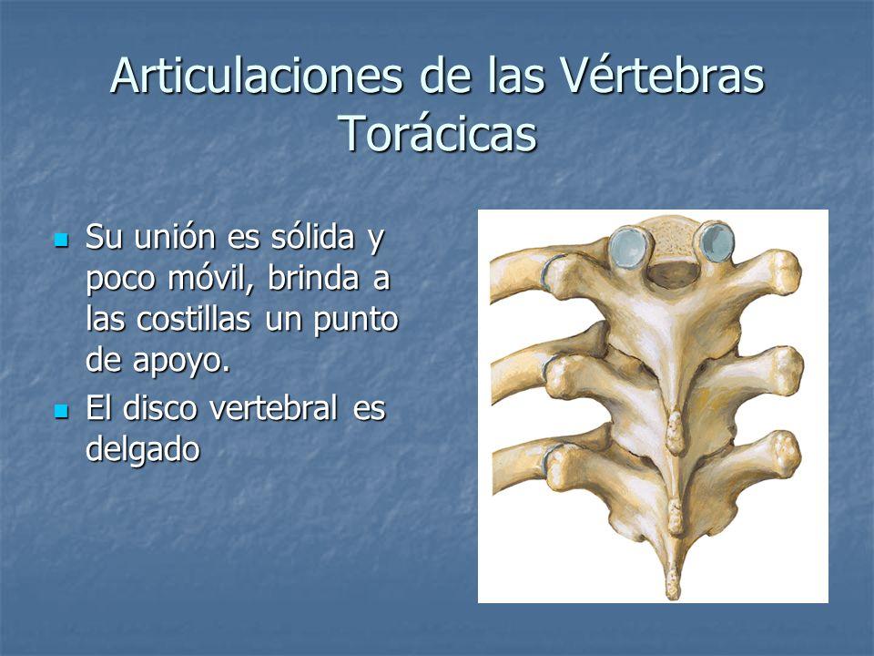 Articulaciones de las Vértebras Torácicas Su unión es sólida y poco móvil, brinda a las costillas un punto de apoyo. Su unión es sólida y poco móvil,