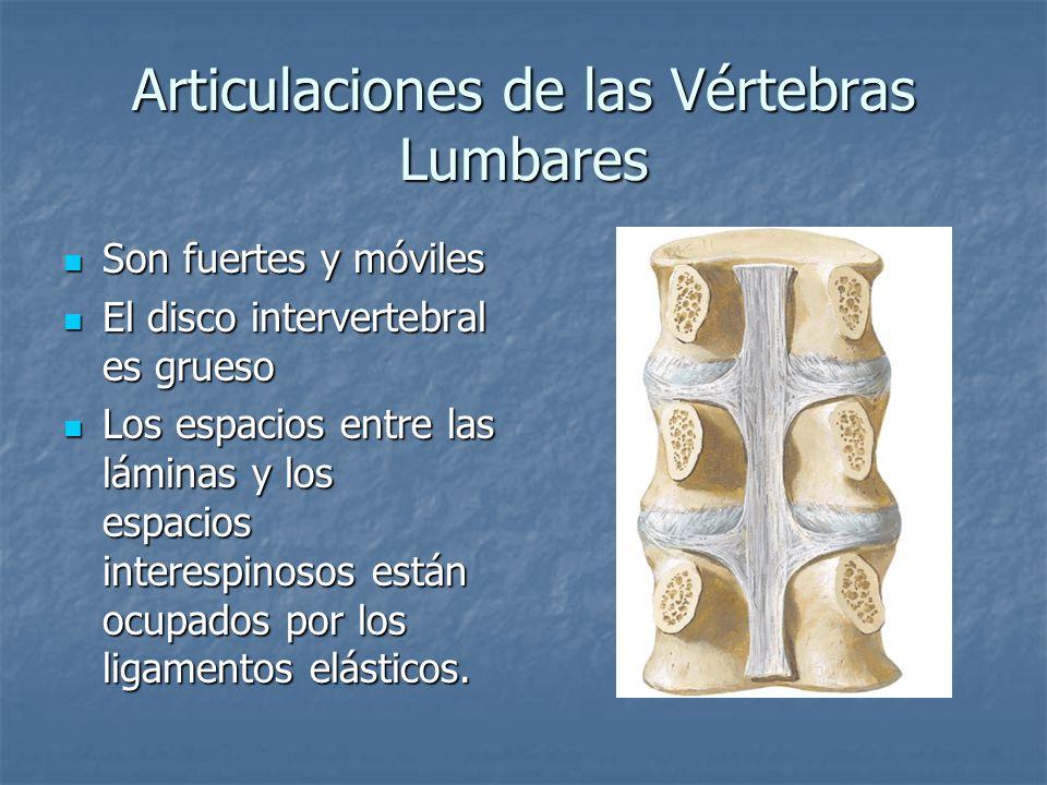 Articulaciones de las Vértebras Lumbares Son fuertes y móviles Son fuertes y móviles El disco intervertebral es grueso El disco intervertebral es grue