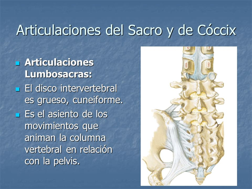 Articulaciones del Sacro y de Cóccix Articulaciones Lumbosacras: Articulaciones Lumbosacras: El disco intervertebral es grueso, cuneiforme. El disco i