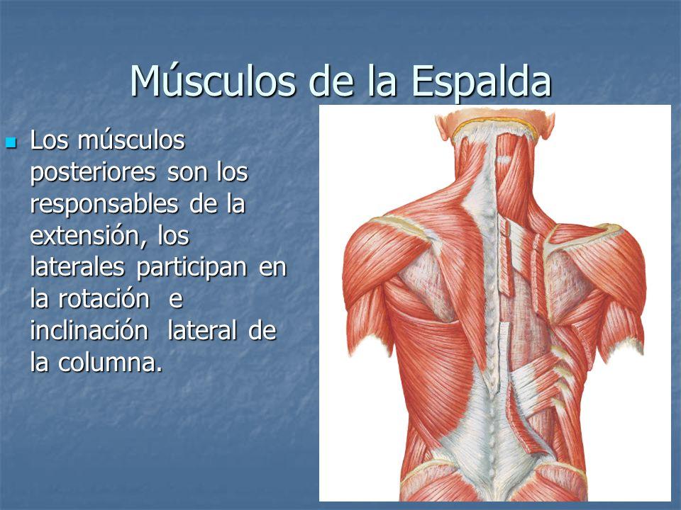 Músculos de la Espalda Los músculos posteriores son los responsables de la extensión, los laterales participan en la rotación e inclinación lateral de