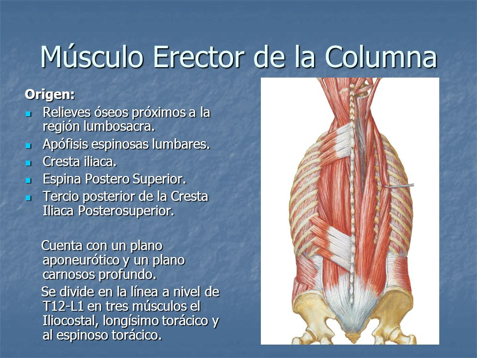 Músculo Erector de la Columna Origen: Relieves óseos próximos a la región lumbosacra. Relieves óseos próximos a la región lumbosacra. Apófisis espinos