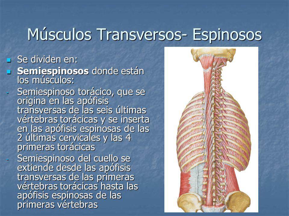 Músculos Transversos- Espinosos Se dividen en: Se dividen en: Semiespinosos donde están los músculos: Semiespinosos donde están los músculos: - Semies
