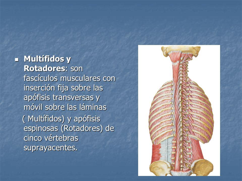 Multífidos y Rotadores: son fascículos musculares con inserción fija sobre las apófisis transversas y móvil sobre las láminas Multífidos y Rotadores: