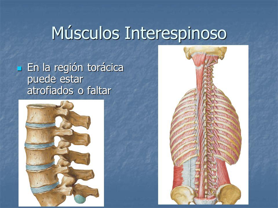 Músculos Interespinoso En la región torácica puede estar atrofiados o faltar En la región torácica puede estar atrofiados o faltar