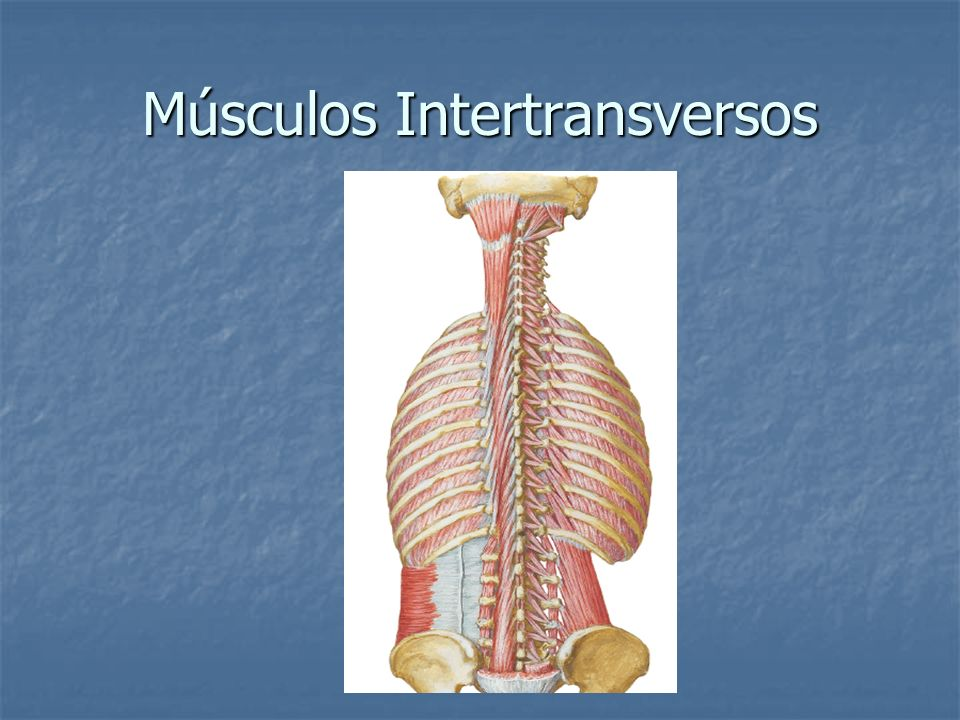 Músculos Intertransversos