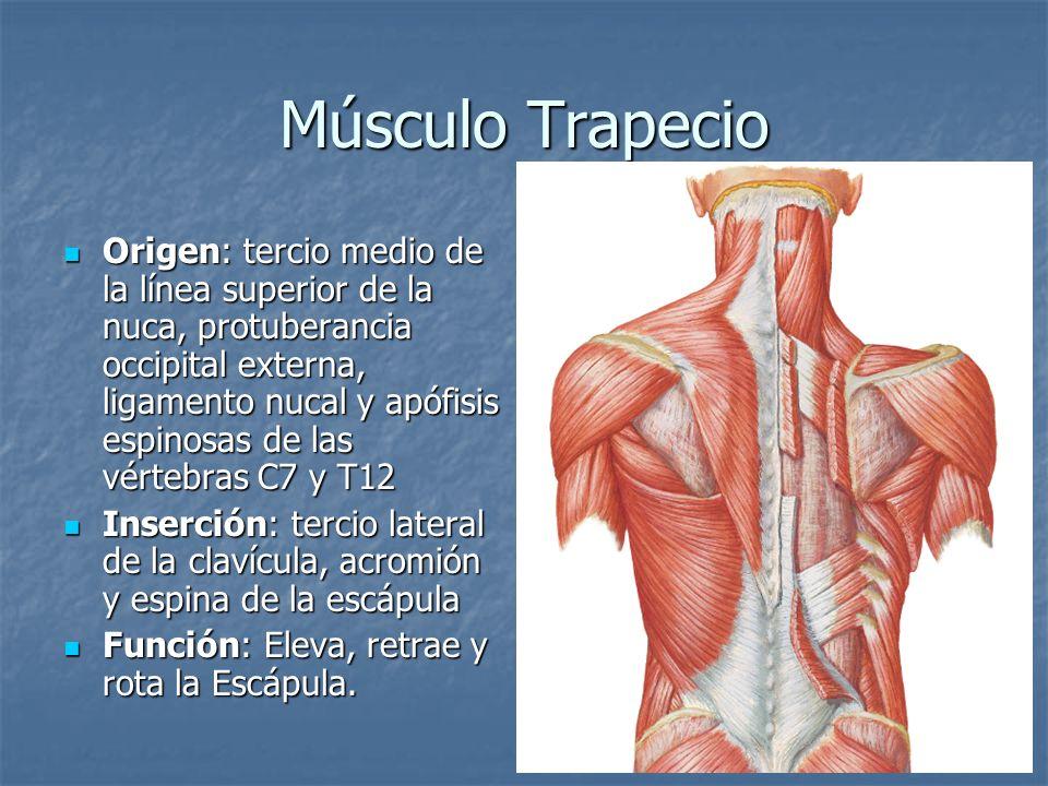 Músculo Trapecio Origen: tercio medio de la línea superior de la nuca, protuberancia occipital externa, ligamento nucal y apófisis espinosas de las vé