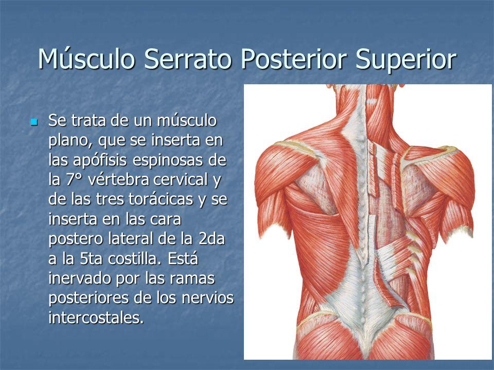 Músculo Serrato Posterior Superior Se trata de un músculo plano, que se inserta en las apófisis espinosas de la 7° vértebra cervical y de las tres tor