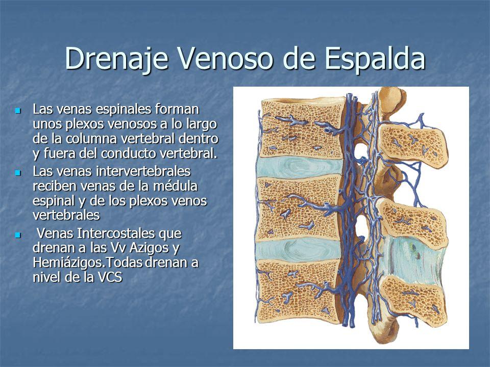 Drenaje Venoso de Espalda Las venas espinales forman unos plexos venosos a lo largo de la columna vertebral dentro y fuera del conducto vertebral. Las