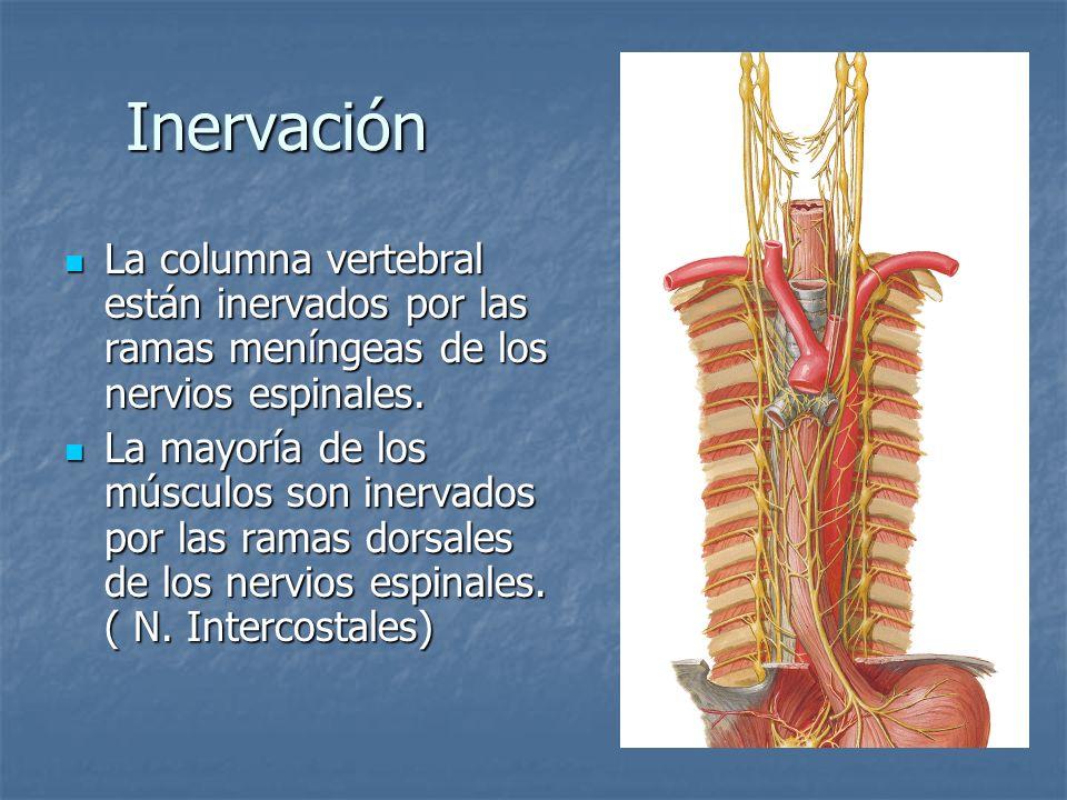 Inervación La columna vertebral están inervados por las ramas meníngeas de los nervios espinales. La columna vertebral están inervados por las ramas m