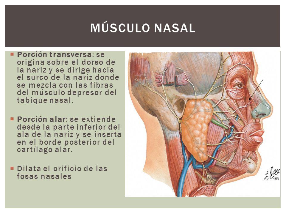 Porción transversa: se origina sobre el dorso de la nariz y se dirige hacia el surco de la nariz donde se mezcla con las fibras del músculo depresor d