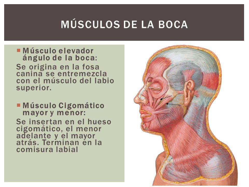 Músculo elevador ángulo de la boca: Se origina en la fosa canina se entremezcla con el músculo del labio superior. Músculo Cigomático mayor y menor: S