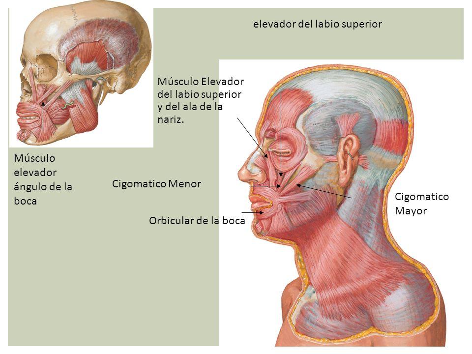 Orbicular de la boca Músculo Elevador del labio superior y del ala de la nariz. elevador del labio superior Cigomatico Menor Cigomatico Mayor Músculo