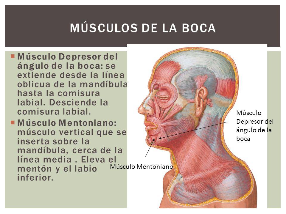 Músculo Depresor del ángulo de la boca: se extiende desde la línea oblicua de la mandíbula hasta la comisura labial. Desciende la comisura labial. Mús