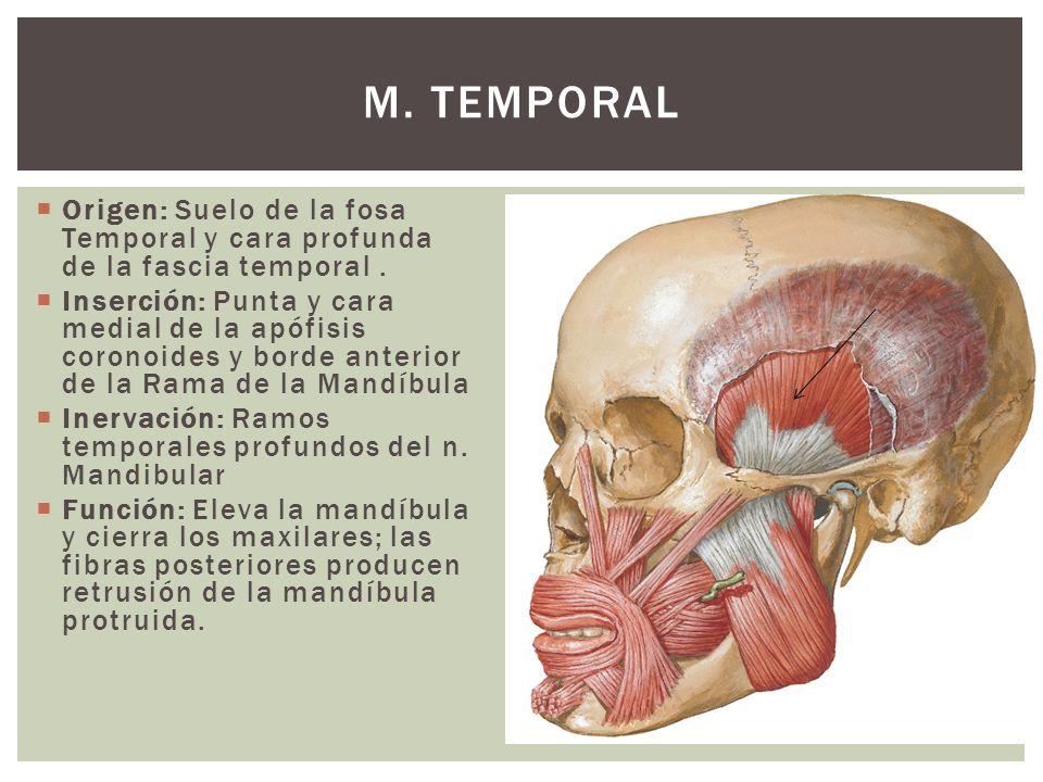Origen: Suelo de la fosa Temporal y cara profunda de la fascia temporal. Inserción: Punta y cara medial de la apófisis coronoides y borde anterior de