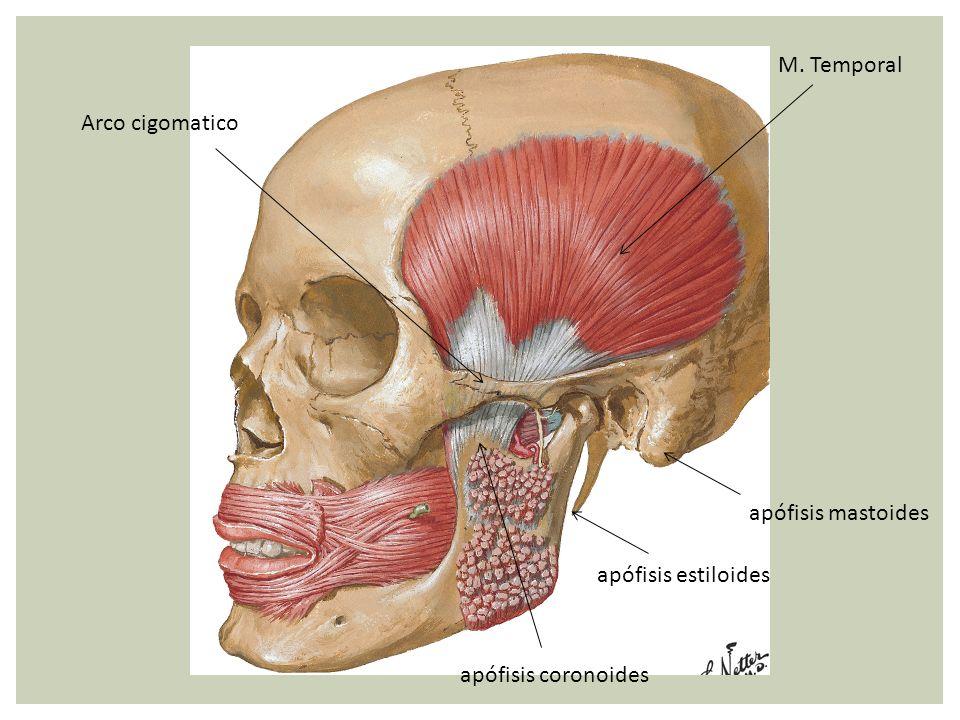 apófisis coronoides Arco cigomatico apófisis estiloides apófisis mastoides M. Temporal