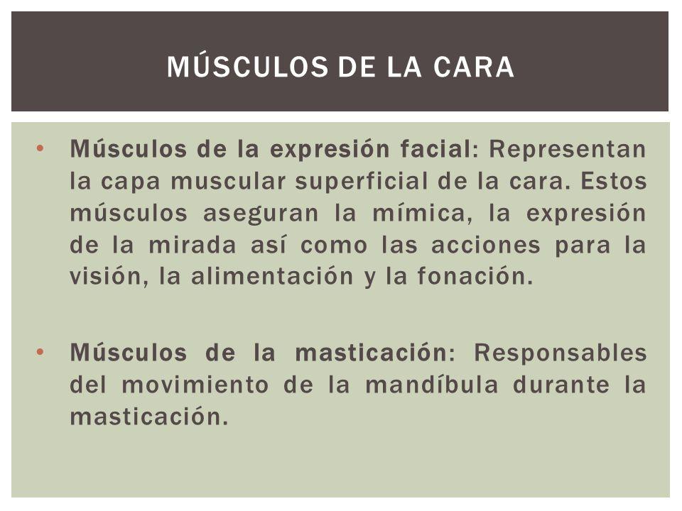 Músculos de la expresión facial: Representan la capa muscular superficial de la cara. Estos músculos aseguran la mímica, la expresión de la mirada así